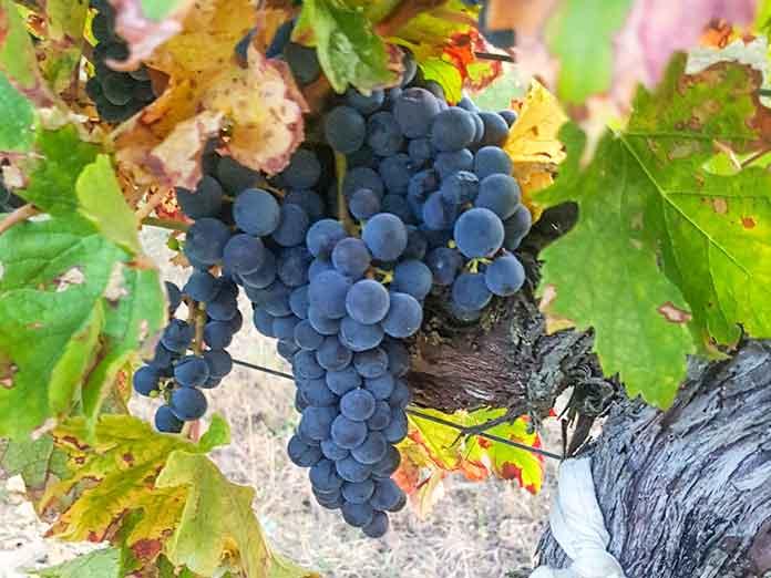 raisins rouge grand vin de Bordeaux chateau larquey caudrot